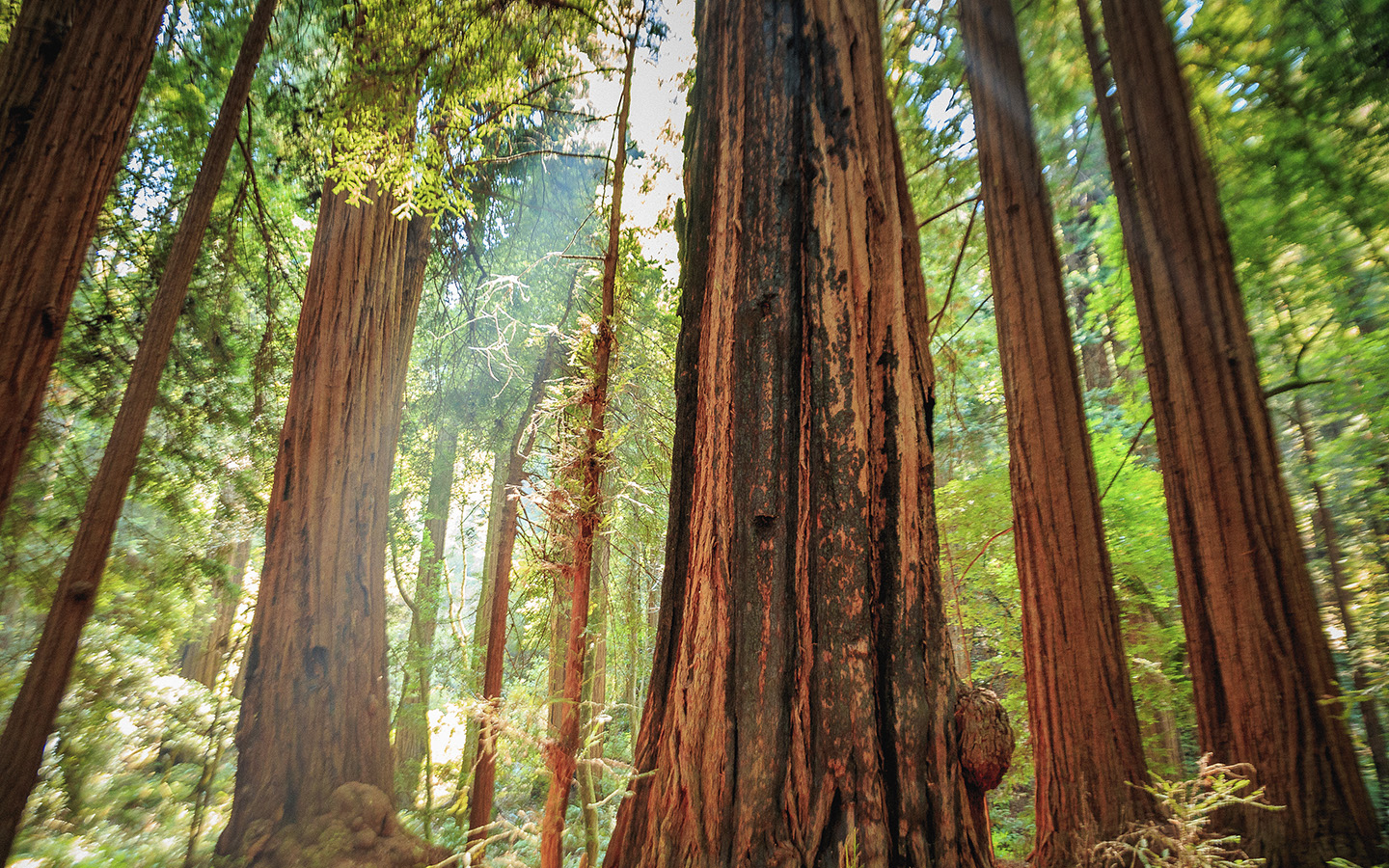 Majestic sequoia in Muir Woods